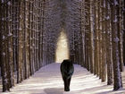 Ağaçlı Yoldaki Siyah Kurt