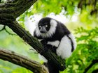Ağaçtaki Lemur Yapbozu