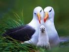 Albatros Kuşları Yapbozu