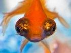 Altın Gözlü Balık