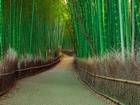 Bambu Ağaçları