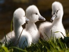 Bebek Kuğular Yapbozu