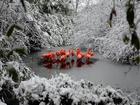 Bembeyaz Karlar Arasında Flamingo Sürüsü