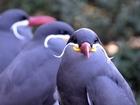Bıyıklı Güvercin