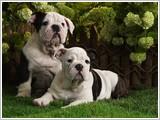 Buruşuk Köpek Yapbozu