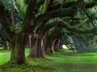 Büyük Yeşil Ağaçlar