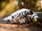 Debelenen Kedi Yapbozu