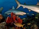 Denizaltındaki Tehlike Köpekbalığı Yapbozu