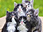 Dua Eden Mavi Gözlü Kediler Yapbozu