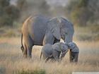 Fil ve Yavruları