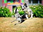 Frizbi Oynayan Köpek Yapbozu