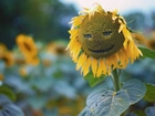 Gülümseyen Ayçiçeği Yapbozu