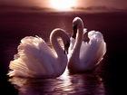 Günbatımı ve Kuğular