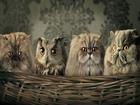 Hangisi Baykuş Yapbozu