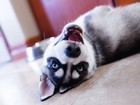 Husky Cinsi Köpek Yapbozu