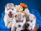Husky Cinsi Köpekler Yapbozu