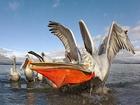 İnişe Geçen Pelikan Yapbozu