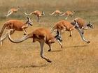 Kanguru Sürüsü