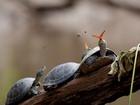 Kaplumbağa ve Kelebek Yapbozu