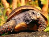 Kaplumbağa Yapbozu