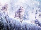 Kar Altındaki Kaplanlar