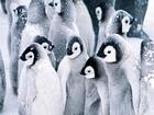 Kar Kaplı Penguenler