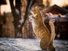 Karda Yürüyen Kedi