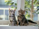 Kardeş Kediler Yapbozu