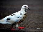 Kırmızı Gözlü Alacalı Güvercin