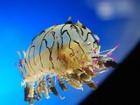 Kıvırcık Denizanası