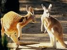 Konuşan Kangurular Yapbozu