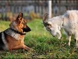 Köpek İle Keçi Yapbozu