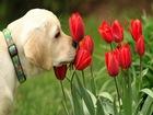 Köpek ve Kırmızı Laleler