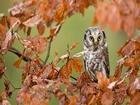 Kuru Yapraklar Arasındaki Baykuş