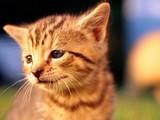 Masum Kedi Yapbozu