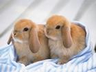 Minik Tavşancıklar Yapbozu