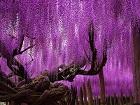 Mor Salkım Ağacı Yapbozu