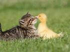 Ördek ve Kedinin Arkadaşlığı Yapbozu