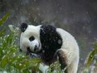 Panda Kar Altında Yapbozu
