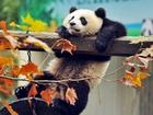 Panda Yapbozu