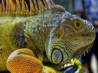 Renkli İguana Yapbozu