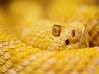 Sarı Çıngıraklı Yılan Yapbozu