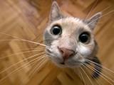 Şaşkın Kedi Yapbozu