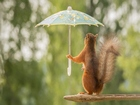 Şemsiyeli Sincap