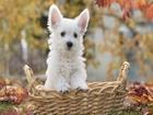 Sepetteki Beyaz Köpek Yapbozu