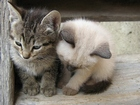 Sevimli İki Kedi Yapbozu