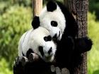 Sevimli Panda Yavruları Yapbozu