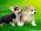 Sevimli Yavru Köpekler