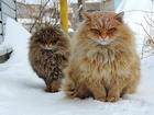 Sibirya Kedileri