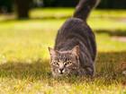 Sinsice Yaklaşan Kedi Yapbozu